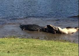 ゴルフ場の池で2匹のワニが喧嘩