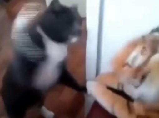 ニャンコがトラのぬいぐるみに激烈猫パンチ