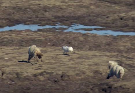 ウサギをハンティングするオオカミ