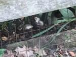 ヘビに襲われるウサギの赤ちゃんを母ウサギが救出