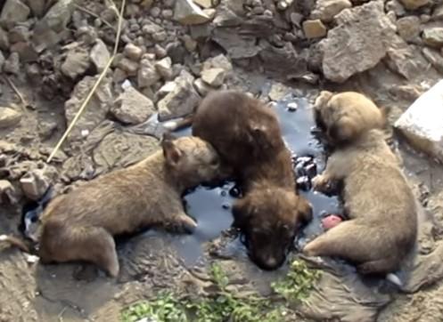 タールに浸かって動けなくなった3匹の子犬をレスキュー