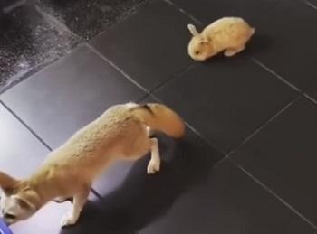 フェネックの背後に忍び寄るウサギ