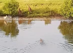 川を泳いで渡るカンガルー