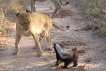 ライオンを激しく威嚇するラーテル