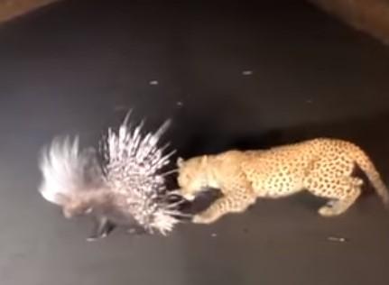 夜の道路の真ん中でヒョウがヤマアラシを襲撃