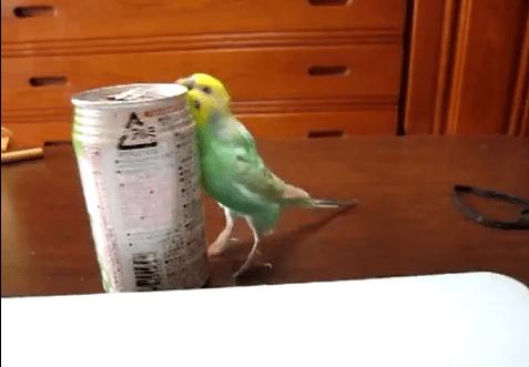 缶をゴミ箱にポイする缶インコ