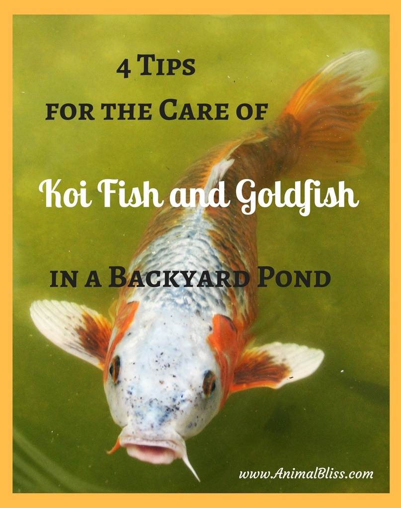 medium resolution of caring for koi fish and goldfish in a backyard pond
