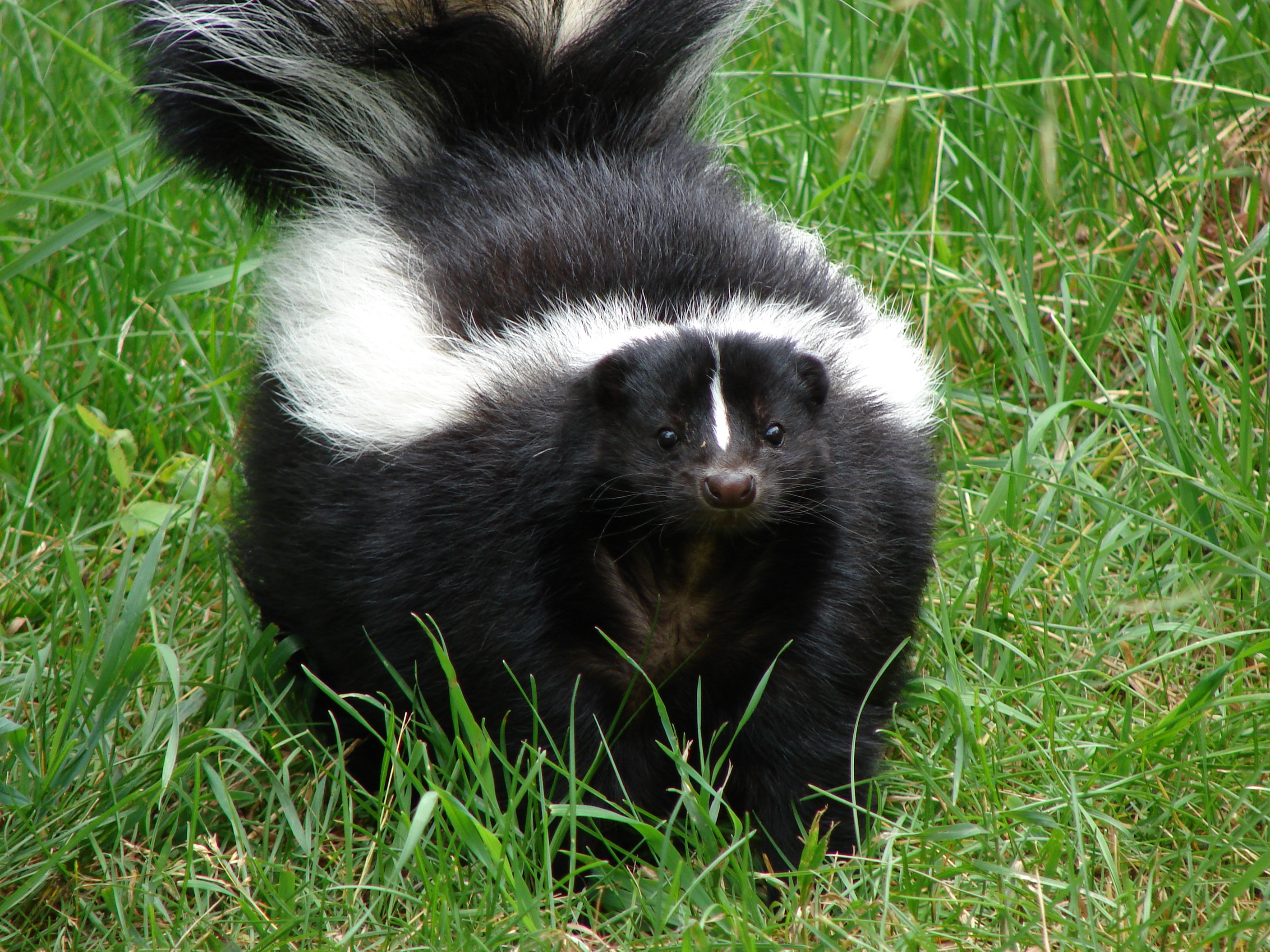 https://i0.wp.com/www.animalcapturewildlifecontrol.com/images/skunk-removal-los-angeles.jpg