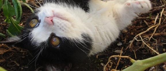 Γιατί οι γάτες κυλιούνται στο χώμα