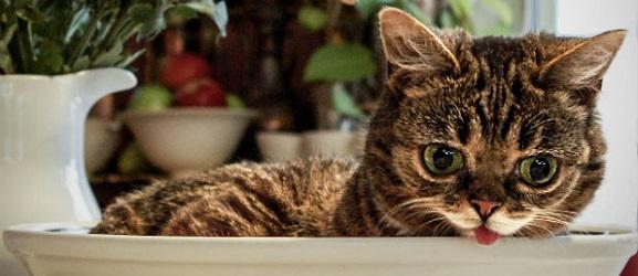 Τι να ταΐσετε μια γάτα χωρίς δόντια