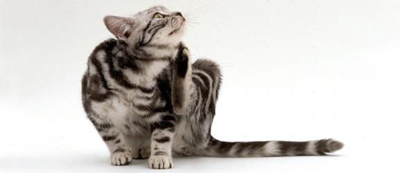 Γίνεται να κολλήσεις ψύλλους από μια γάτα;