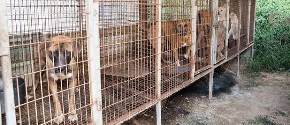Animalcity.gr - Σώθηκαν πάνω από 100 σκύλοι που προορίζονταν για φαγητό!
