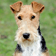 Animalcity.gr - Fox Terrier Icon