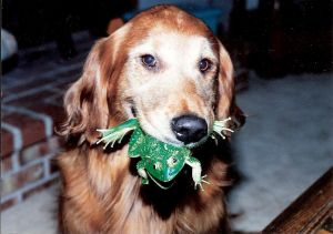 Dog laughter and smiling are actually easy to recognize. This golden holding a frog toy is all smiles