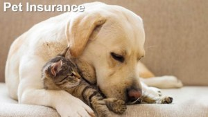A picture of a yellow labrador retriever and a kitten respresenting pets covered by pet health insurance