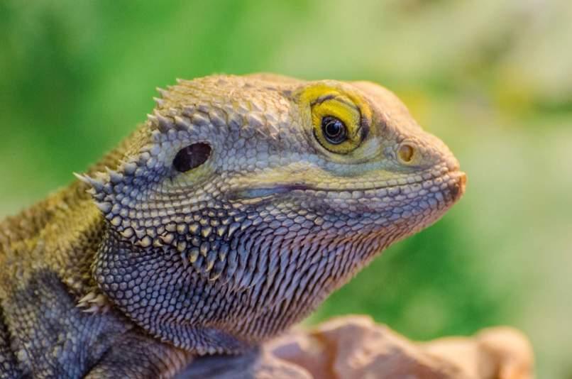 reptiles learn through imitation
