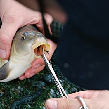 Carp fish with hook