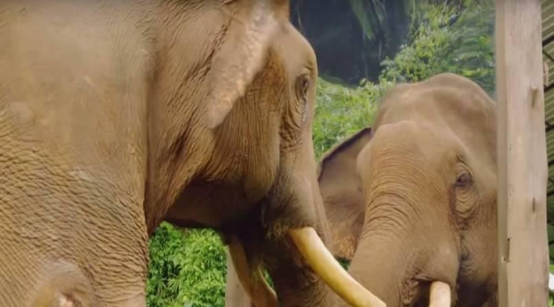 Elephant looking in mirror
