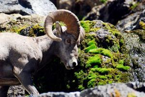 Ram animals doing drugs