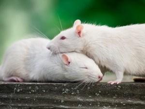 empathy in rats by Noah Brandt
