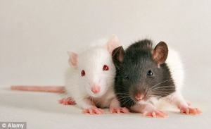 empathy in rats