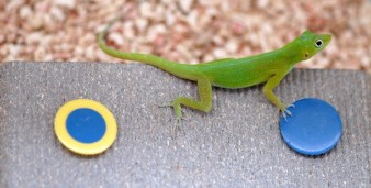 lizards are smart