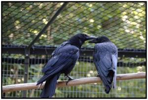 Crows Socializing, corvid intelligence