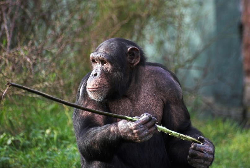 Spear-Hunting Chimps