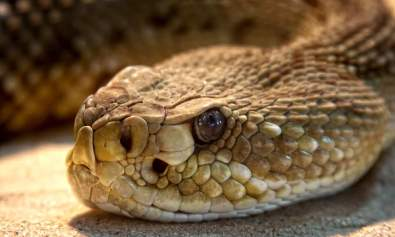 Rattlesnake Close Up
