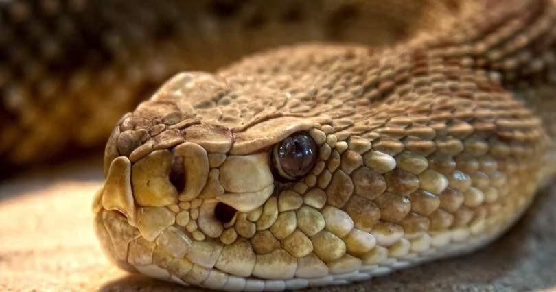 Rattlesnake Close Up