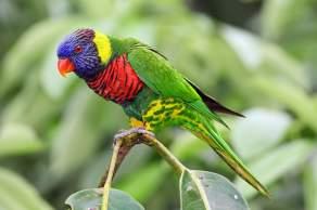 Rainbow Lorikeet, Environment Influences Animal Intelligence