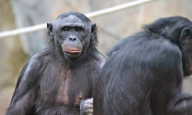 Bonobo Female Coalition Brutality