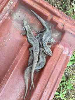 lizardlab5
