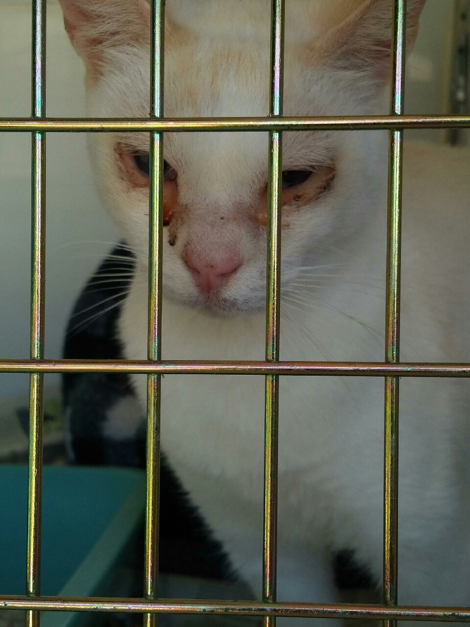 This is Santiago, a rescue cat from Ibiza, whose journey to the UK has been sponsored by Care4Cats