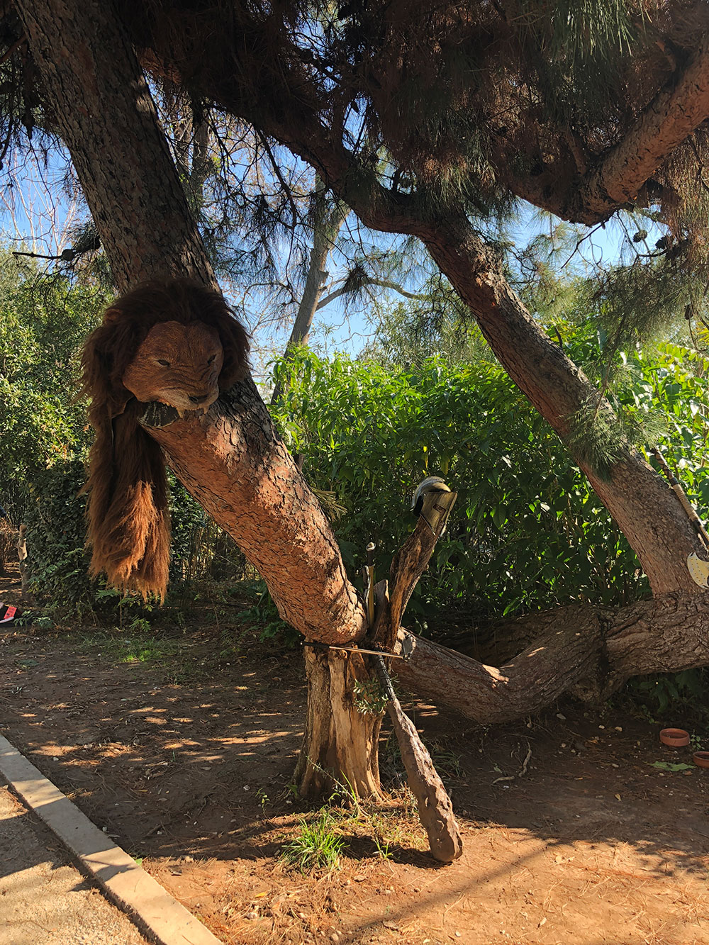 …spot a lion basking in a tree…