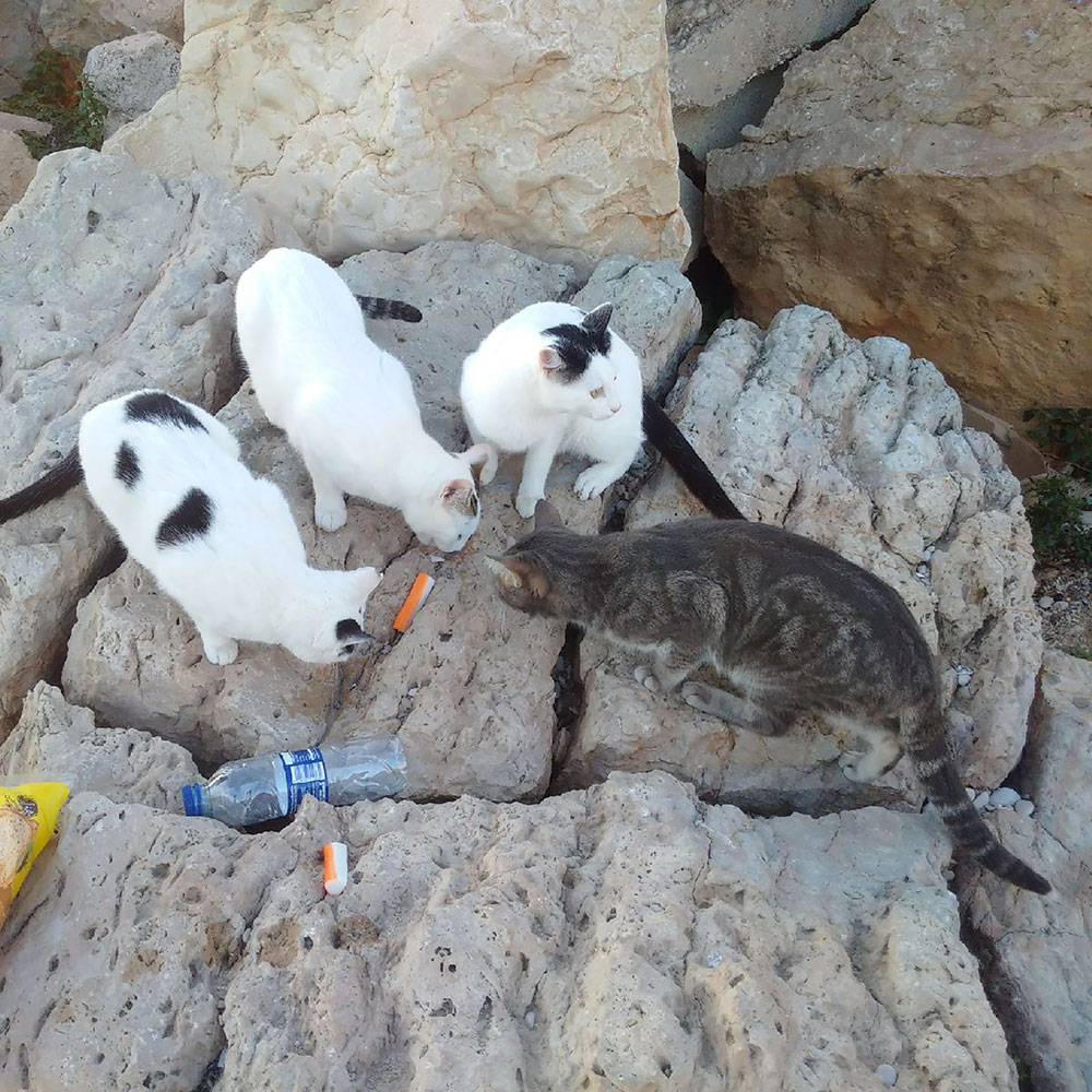 A colony of stray cats lives by the beach — a group of locals keeps an eye on them. Animalcouriers donated some cat food to the cause.