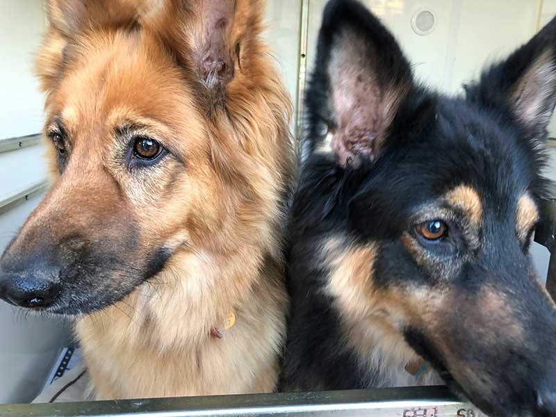 Here she is, happy to share a bedroom with Layla. Roy and Alison took these pretty German Shepherds in as puppies.