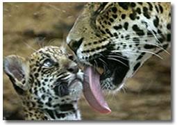 Jaguar y Cria