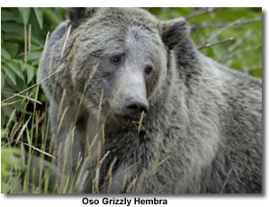 Oso Grizzly Hembra