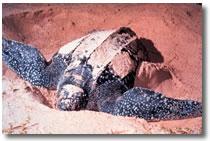 Tortuga Marina Leatherback
