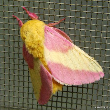 Mariposa rosa del arce o polilla rosa