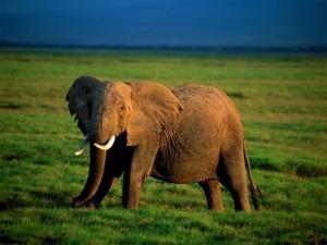 El Elefante, habitante de la sabana de Kenya