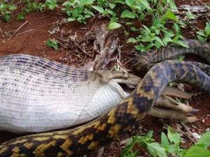 snake-and-kangaroo-6