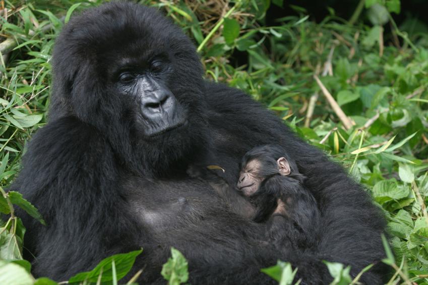 Image result for gorilla images