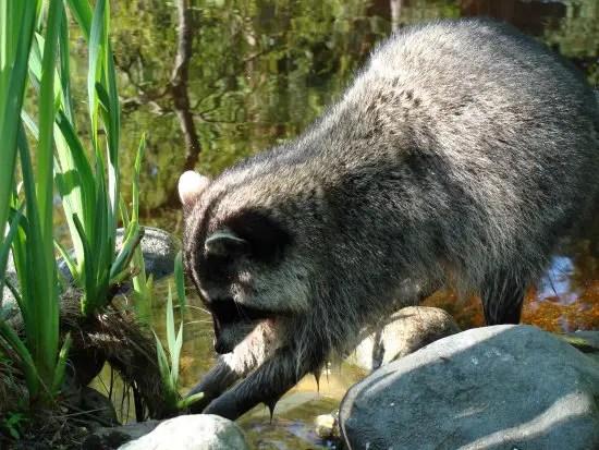 Raccoon Facts  Animal Facts Encyclopedia