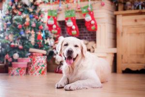 Golden retriever, studio portrait dog on a color background