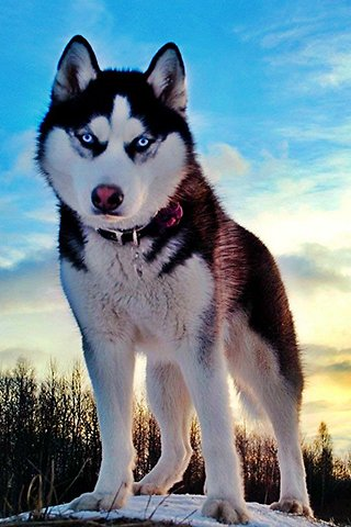 Blue Eyes Cute Wallpaper Siberian Husky Dog Breed History And Some Interesting Facts