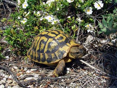 testudo-hermanni-tartaruga-terra