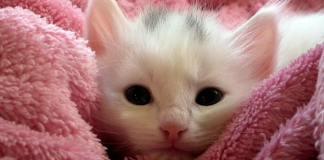 gattino bianco con coperta rosa