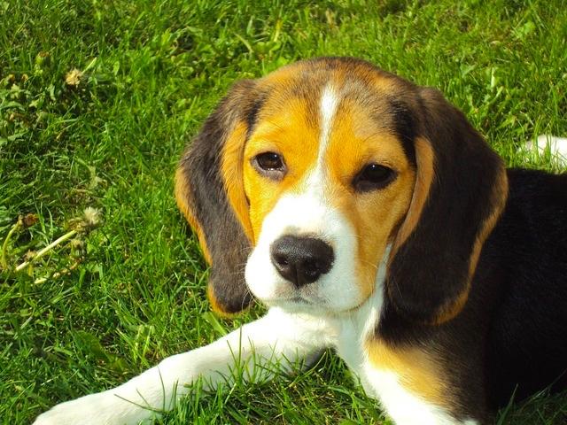 Cane Beagle cucciolo.